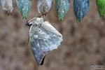 <h5>Makro 6</h5><p>Ein neuer Schmetterling entsteht</p>