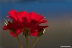 <h5>Makro 28</h5><p>Rose</p>