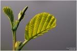 <h5>Makro 24</h5><p>Junge Blätter</p>