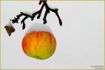 <h5>Makro 23</h5><p>Der erste Schnee und der Apfel</p>