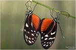 <h5>Makro 40</h5><p>Paarung Schmetterling</p>