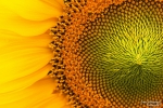 <h5>Makro 29</h5><p>Ausschnitt Sonnenblume</p>